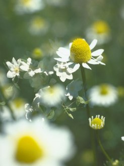 Good-Mood-Chamomile-1