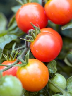 Good-Mood-Cherry-Tomatoes-1
