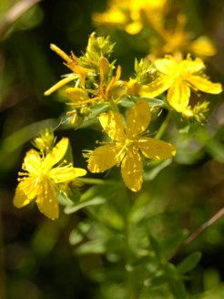 Good-Mood-St-Johns-Wort-1
